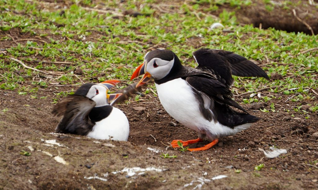"two puffins playing ""ain't it all just awful"""