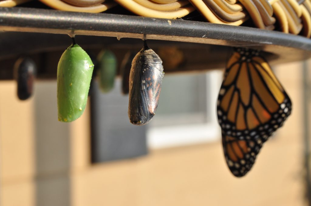 Chrysalis and Butterflies